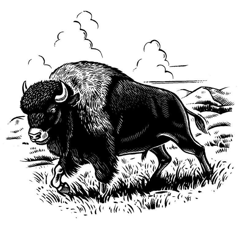 fred-van-deelen-illustrator-Black-and-white-illustration-scraperboard-Bison