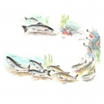 fred-van-deelen-illustrator-animals-painting-watercolour-salmon-lifecycle-fish