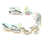 fred-van-deelen-illustrator-painting-watercolour-salmon-lifecycle